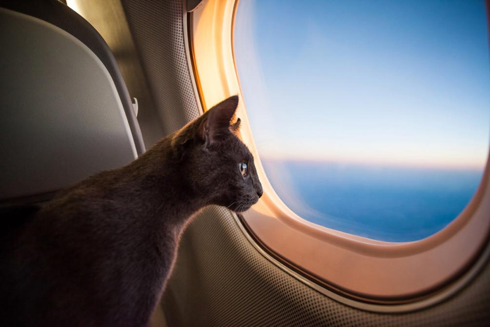 Gatto che guarda fuori da un aereo