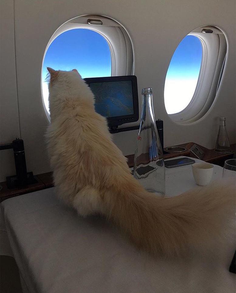 Gatto che viaggia in aereo