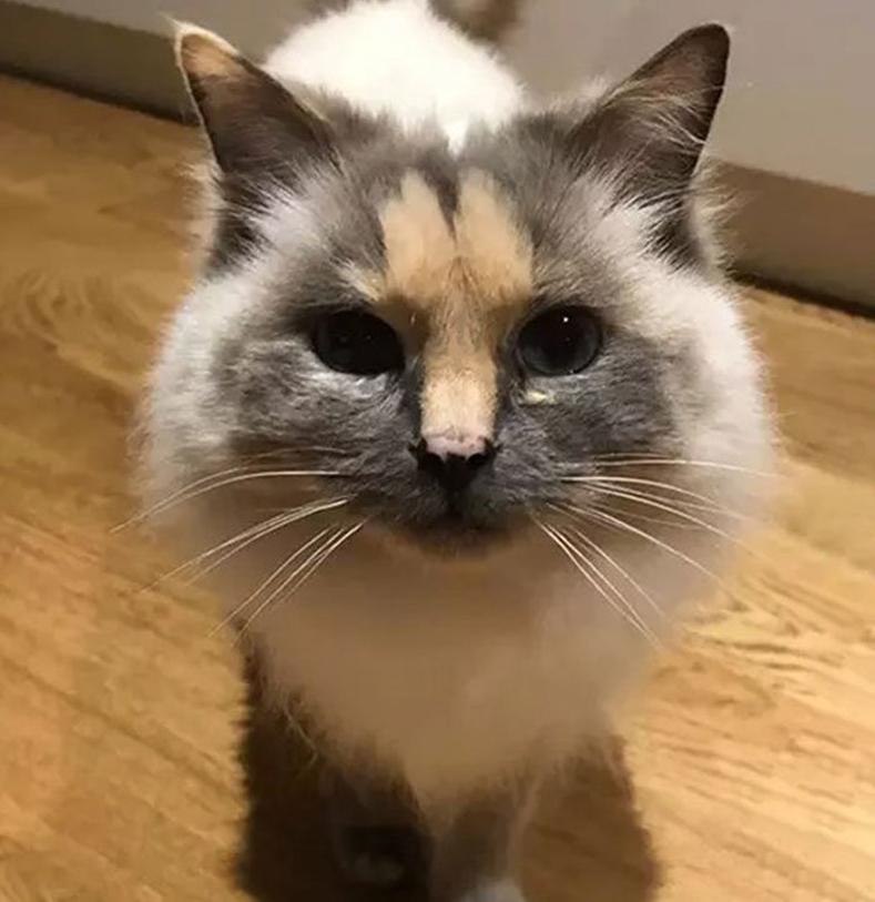 Gatto con una macchia in fronte