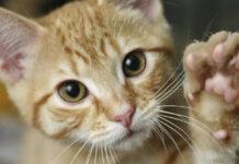 Gatto con zampa alzata