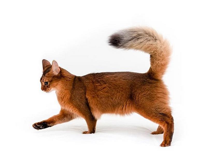 Gatto volpe