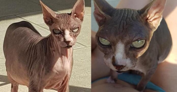 Il gatto Djoon