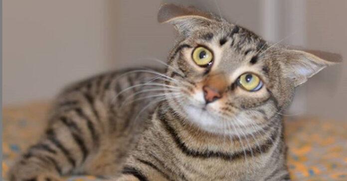 La storia del gatto Pulciosetto
