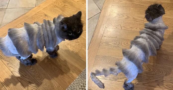 Oliver, il gatto fisarmonica
