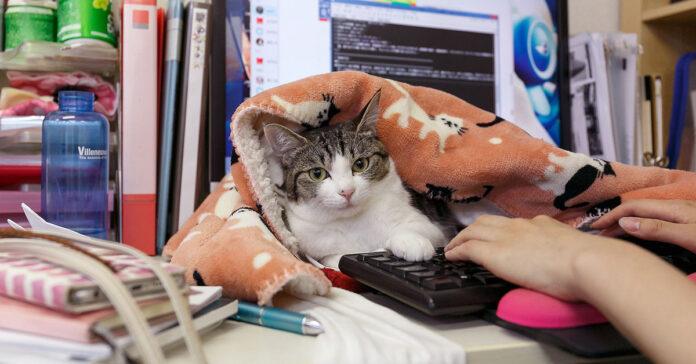 Un gatto in ufficio