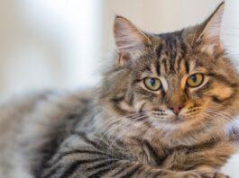 Gatto siberiano