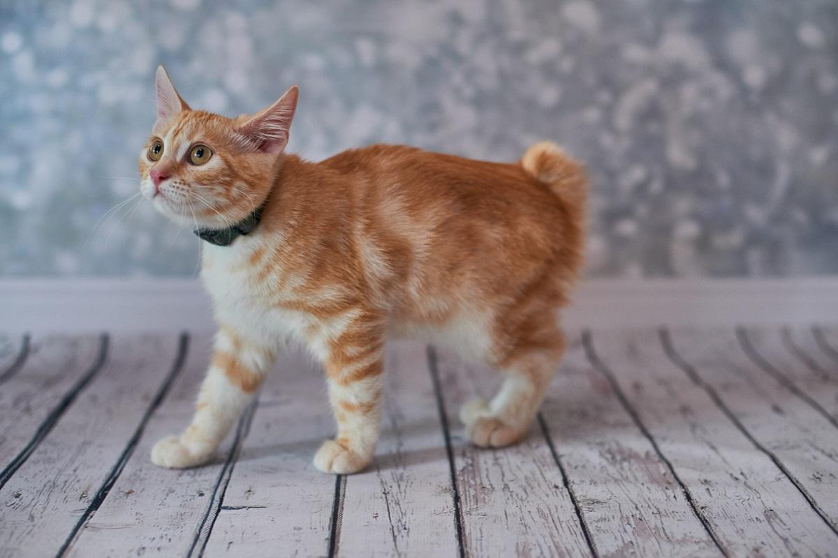 gattino bobtail con collare