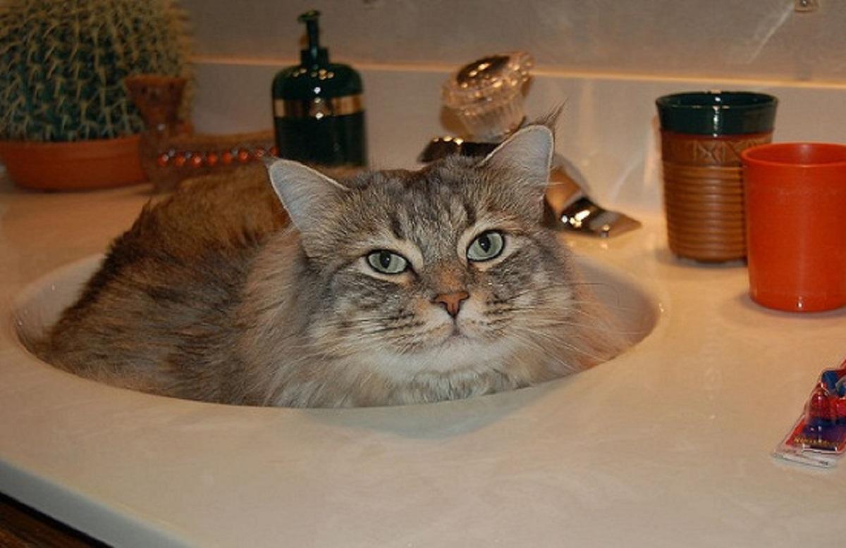 american bobtail dentro lavandino