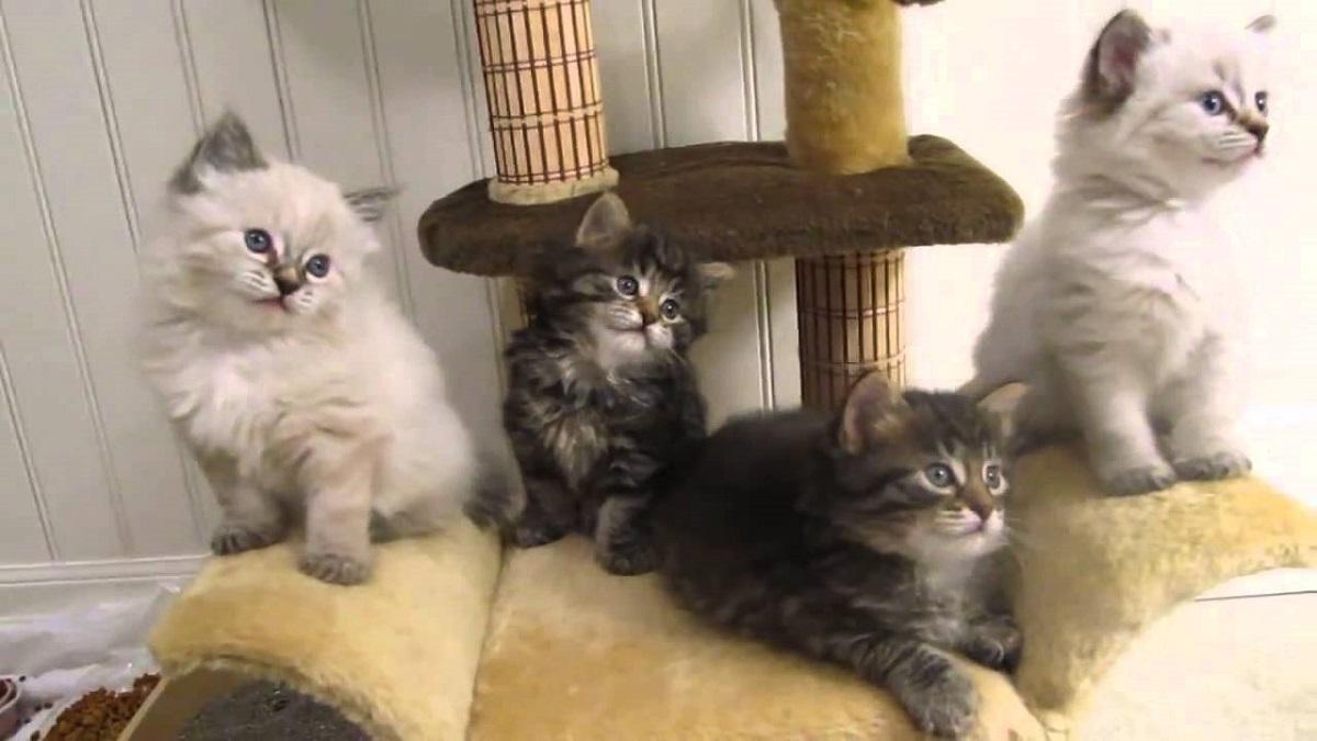 gattini bobtail americano su tiragraffi