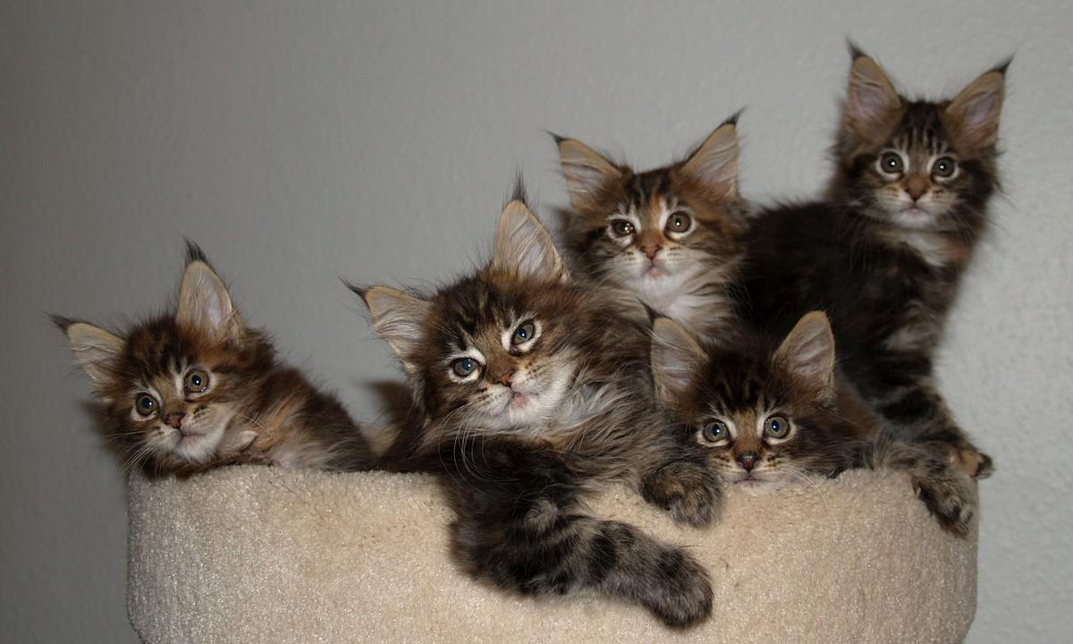 cinque cuccioli bobtail americano