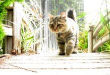 american bobtail che cammina