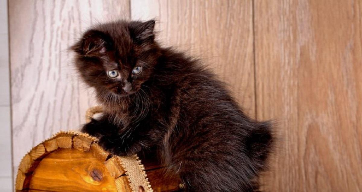 gattino nero american bobtail
