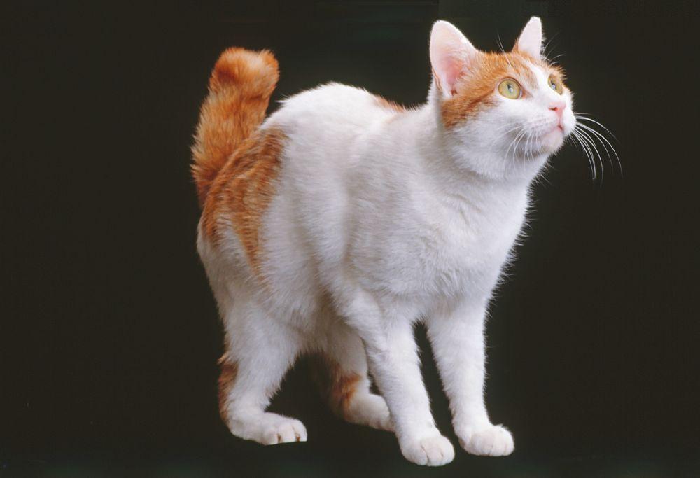 bobtail-giapponese-bianco-e-arancione