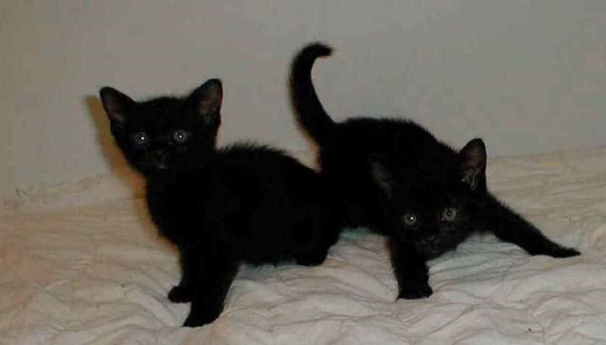 due gattini bombay americano