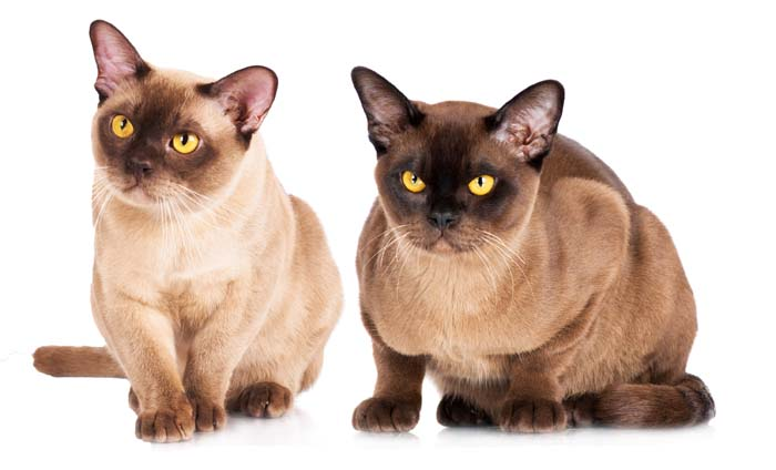 Gatto burmese americano ed europeo, caratteristiche e differenze