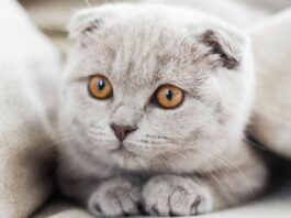 Scottish Fold: tabella di peso