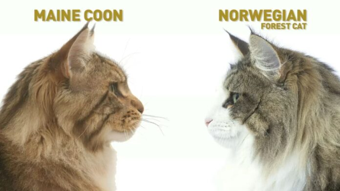 Gatto Norvegese vs Maine Coon: differenze