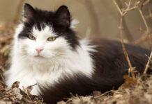Gatto norvegese: dimensioni e peso