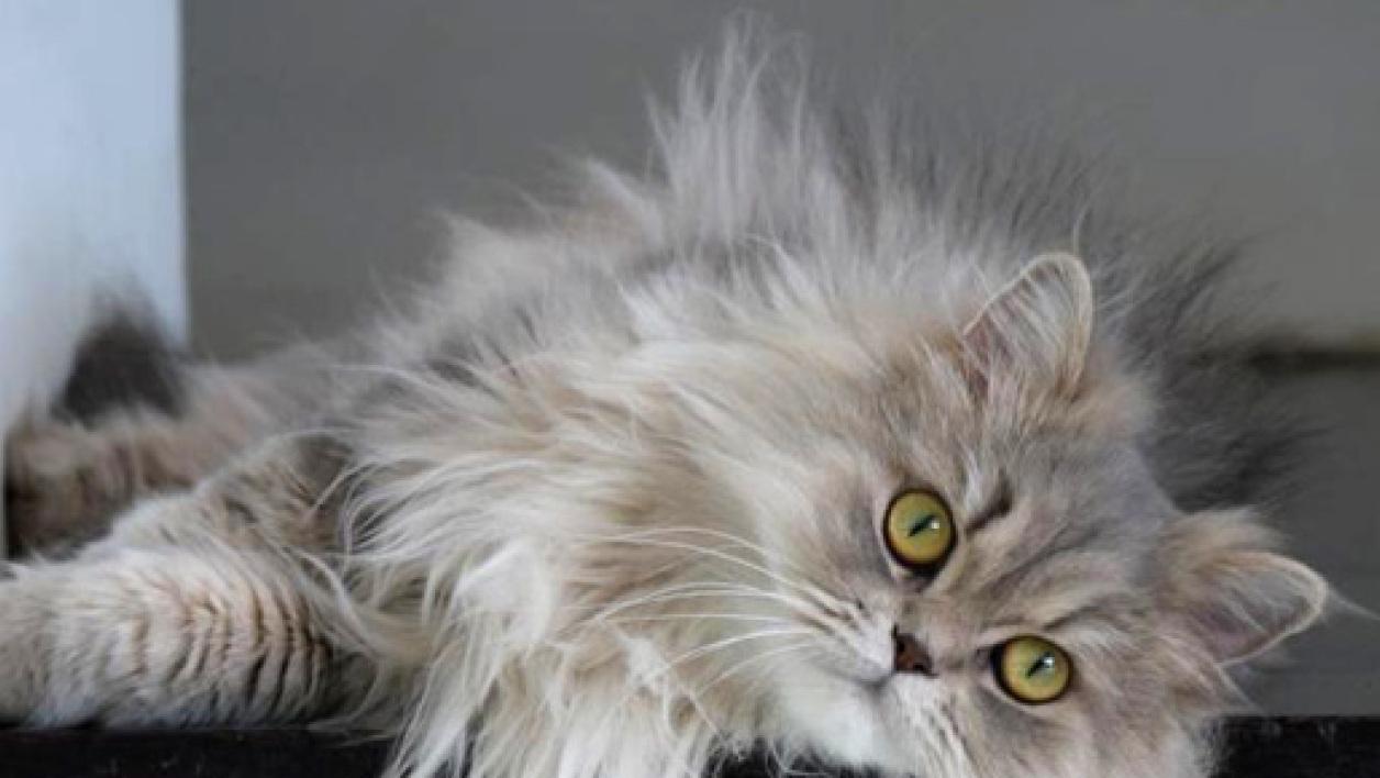 Vivere con un gatto Persiano