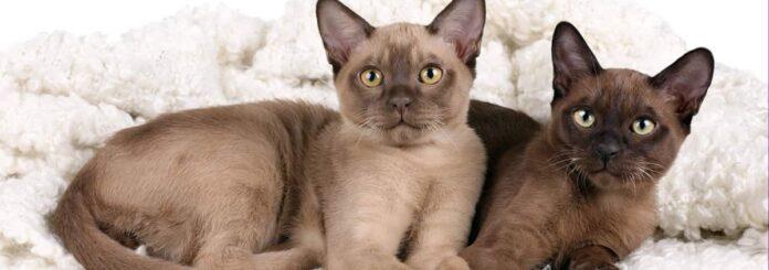 Gatto Burmese: peso e caratteristiche fisiche