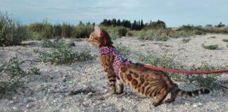 Gatto del Bengala al guinzaglio: come addestrarlo