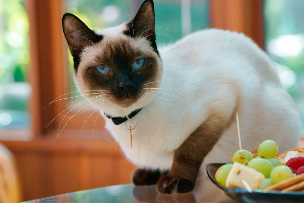 Gatto siamese: abitudini e comportamento