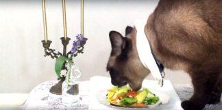 Gatto Siamese: alimentazione ideale