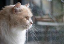 gatto guarda fuori dalla finestra