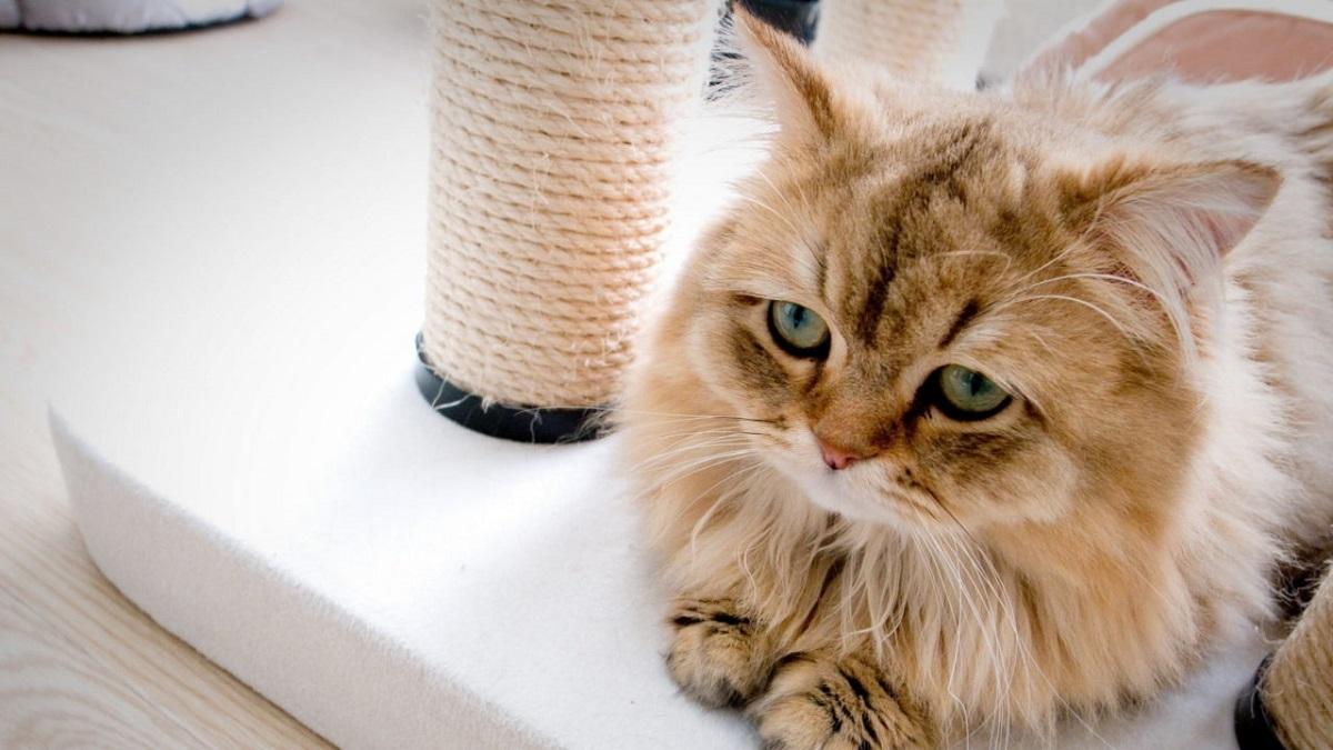 gatto vicino a tiragraffi
