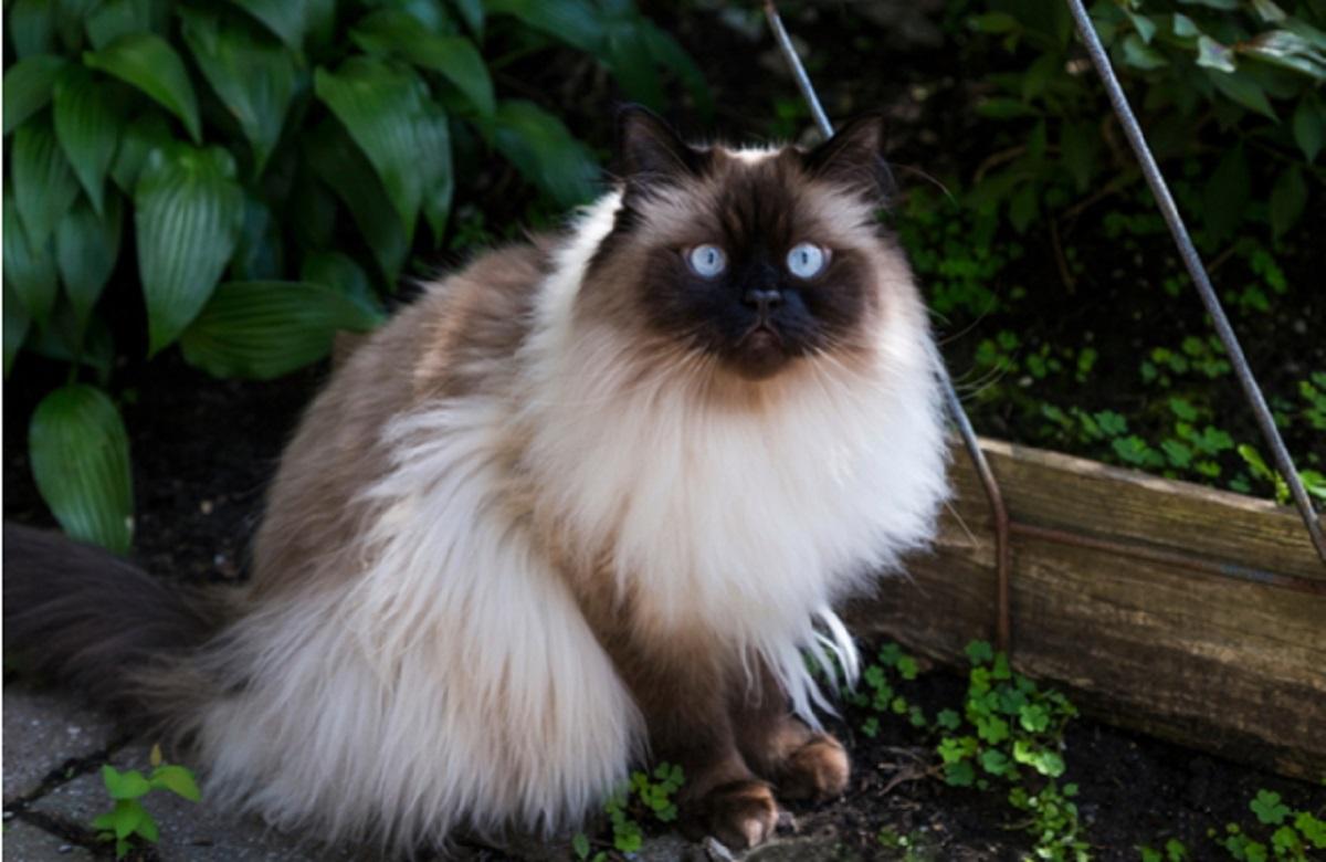 gatto himalayano seduto