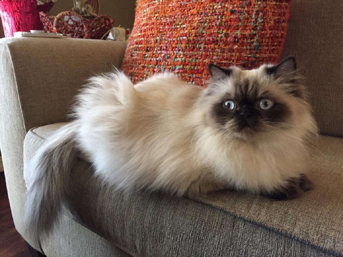 gatto himalayano su divano