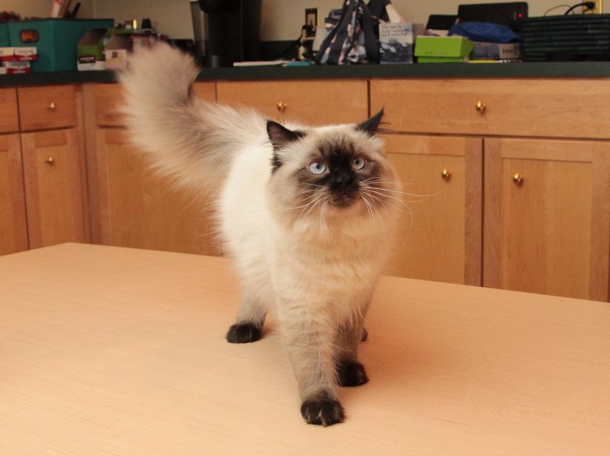 gatto himalayano su tavolo