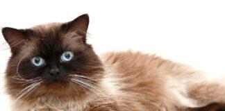 gatto himalayano sfondo bianco
