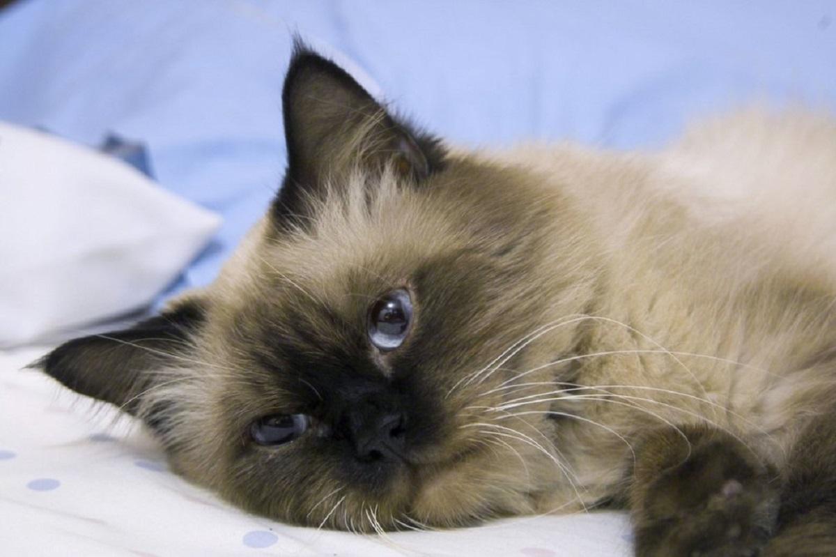 gatto himalayano sdraiato