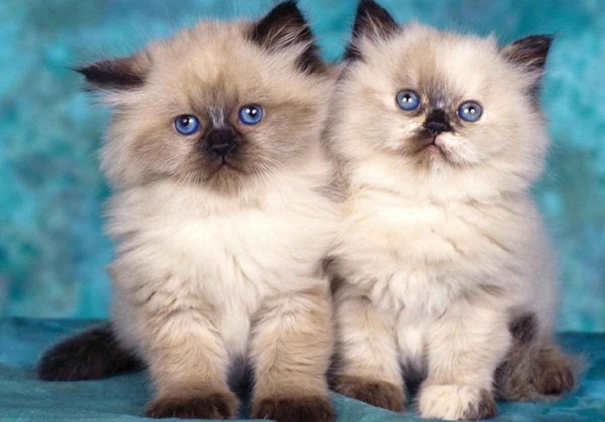 cuccioli gatto himalayano