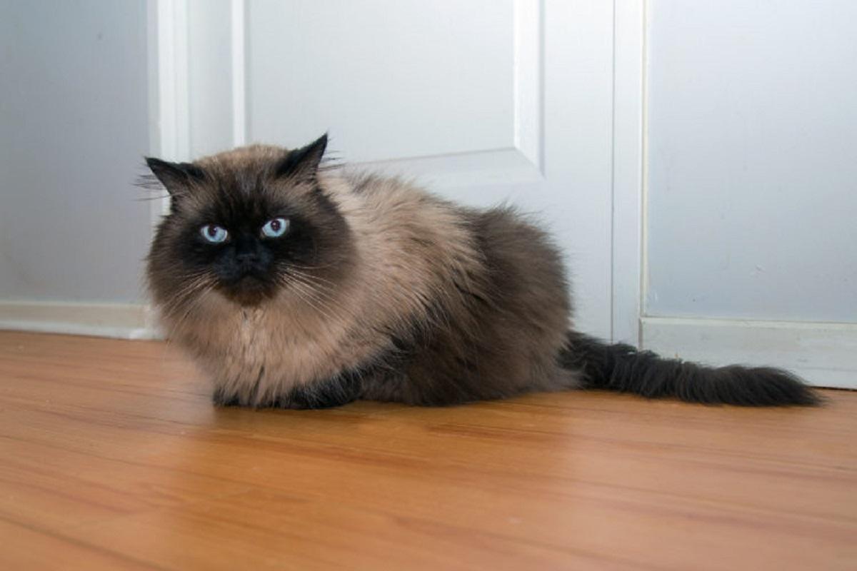 gatto himalayano su parquet