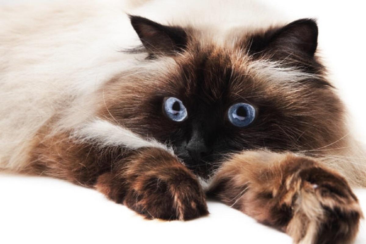 gatto himalayano su letto