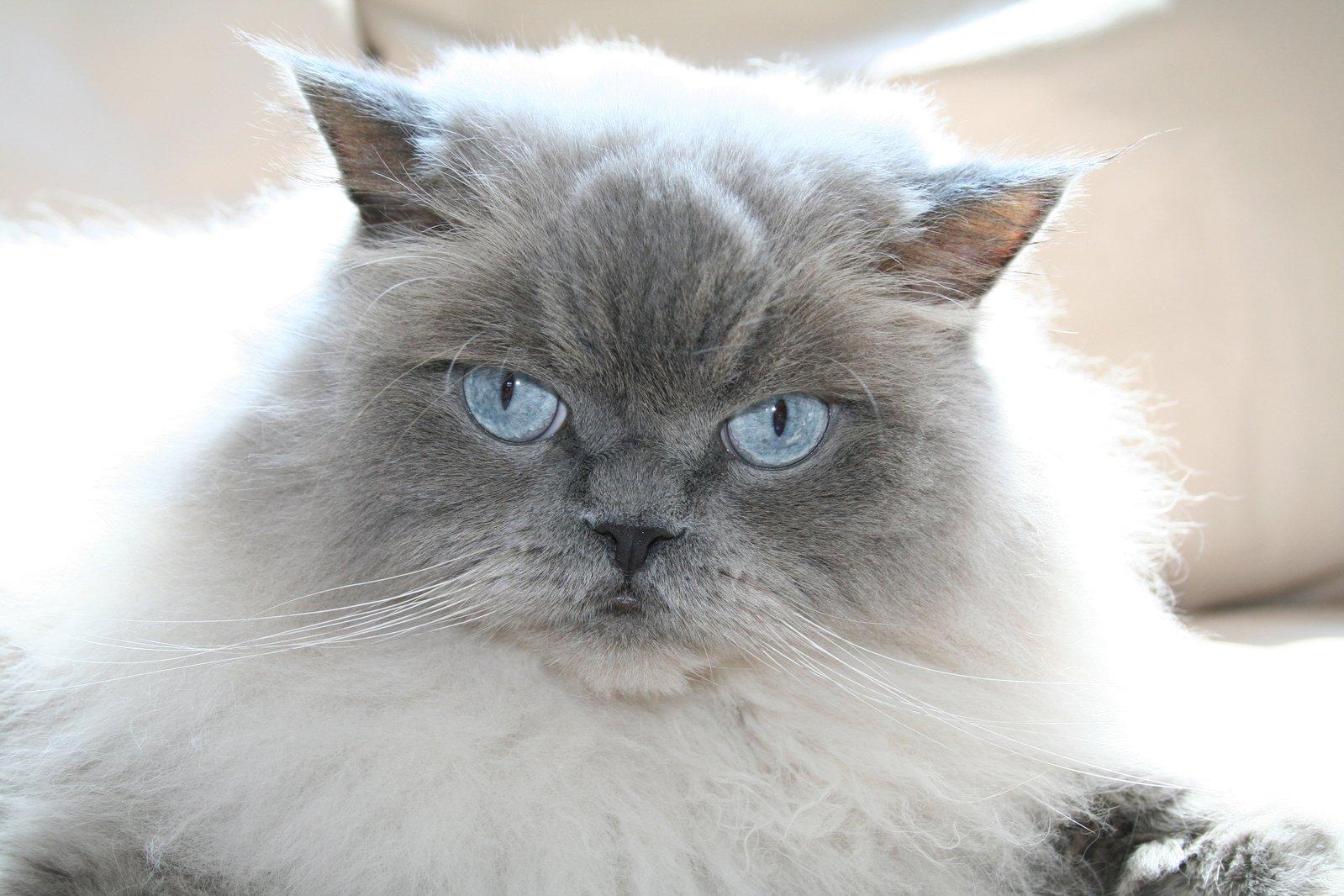 gatto himalayano grigio con occhi azzurri