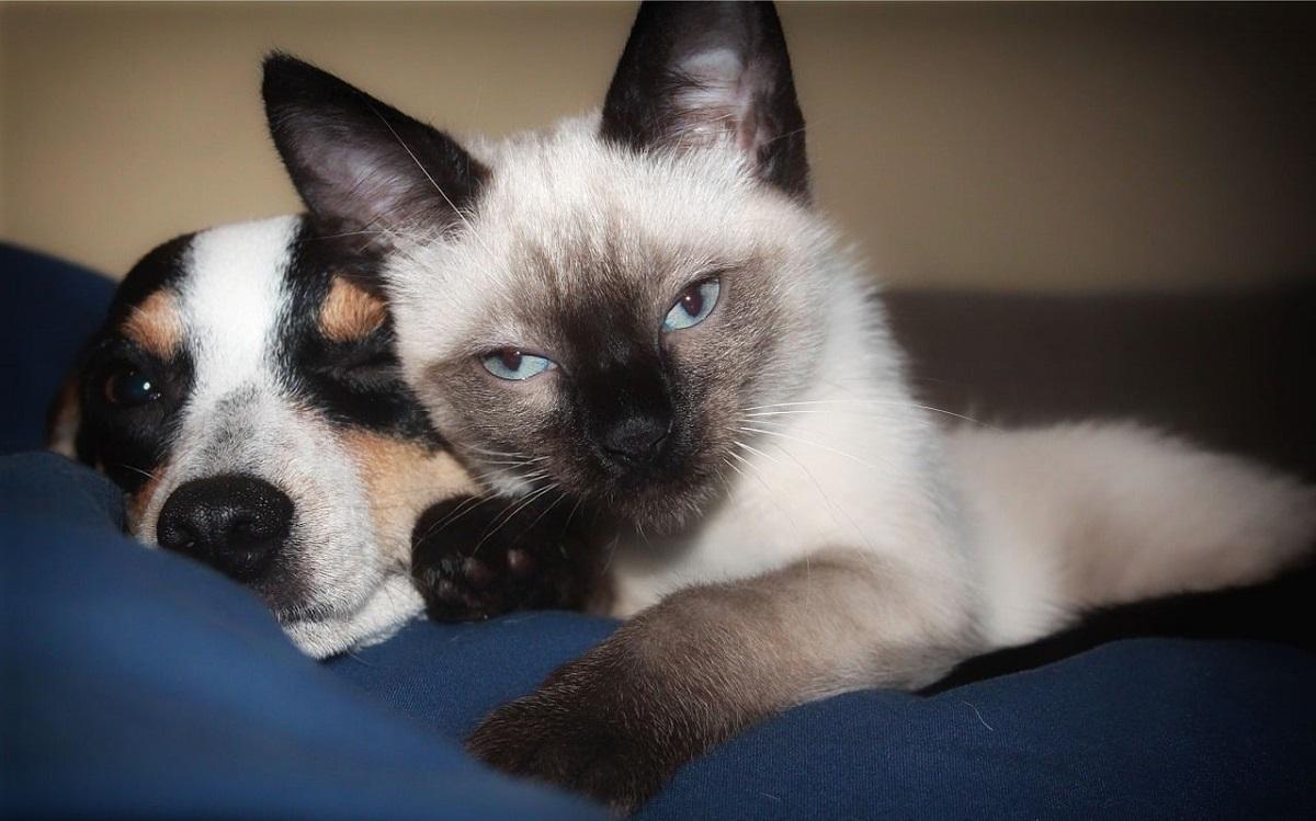 gatto siamese con cane