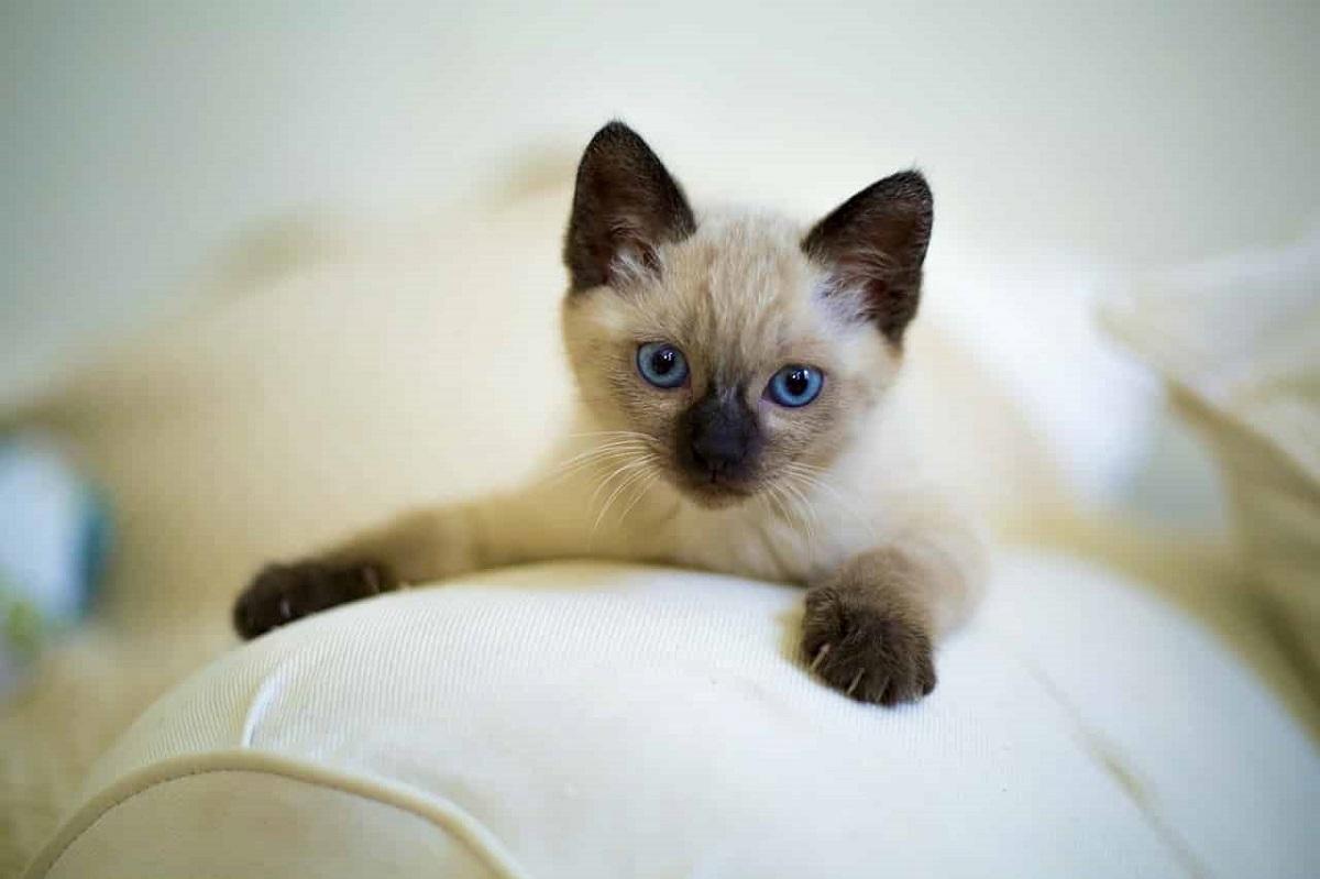 gattino siamese