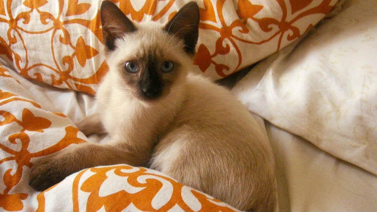 gattino siamese su letto