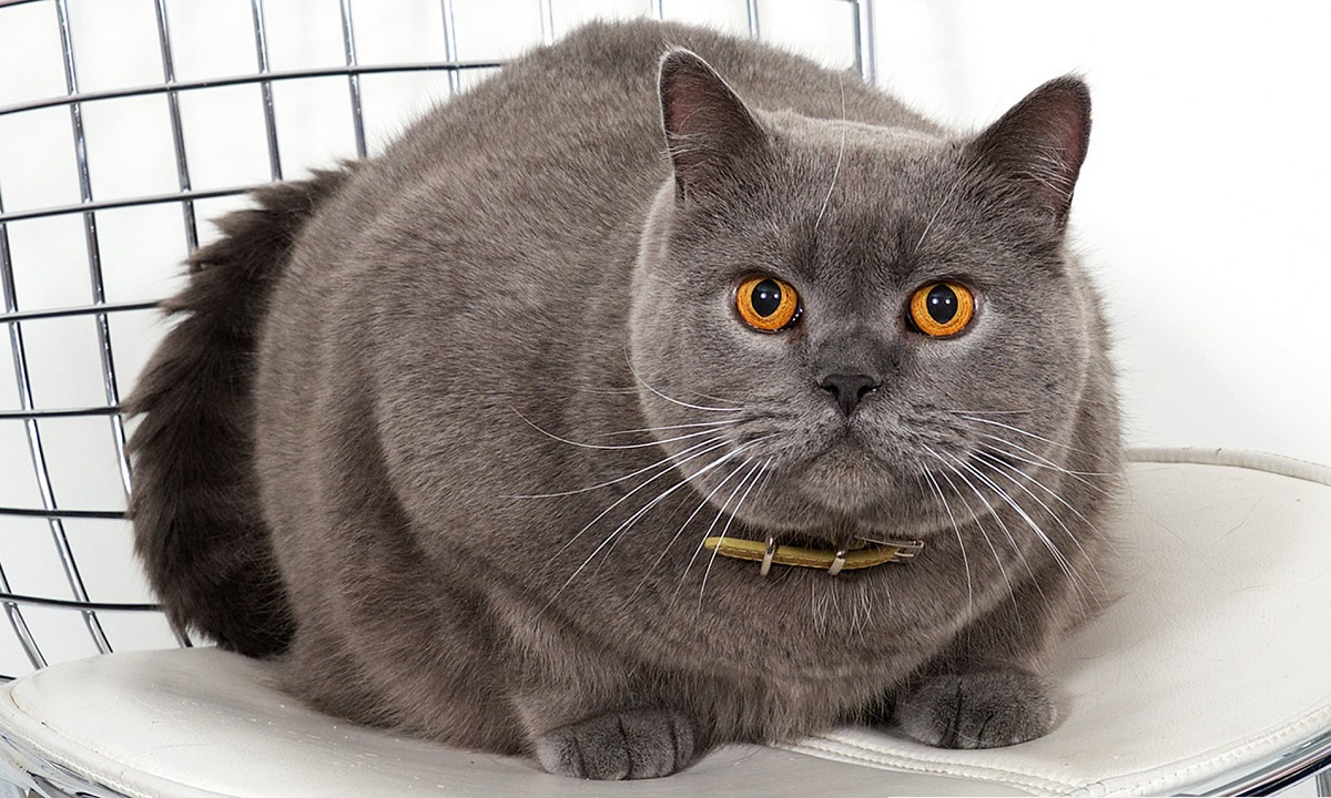 gatta british shorthair incinta