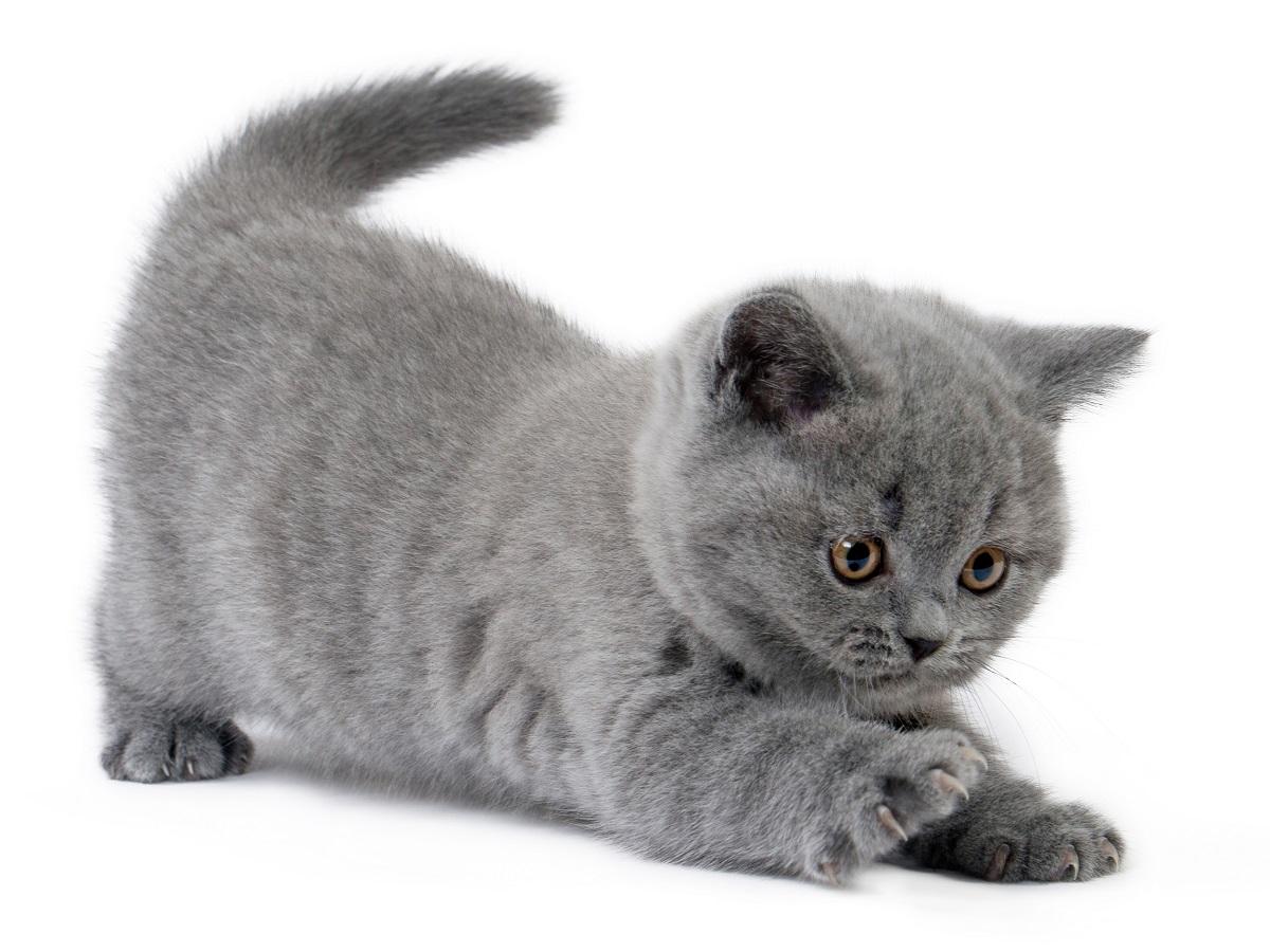 cucciolo british shorthair