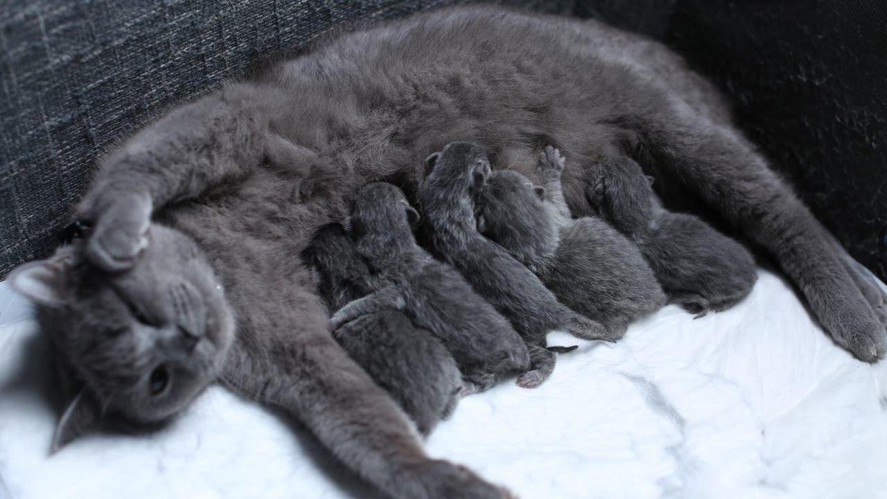 british shorthair partorisce i suoi piccoli