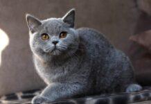 gatto british shorthair