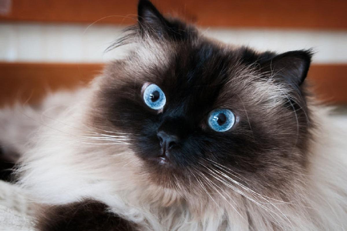 primo piano gatto himalayano