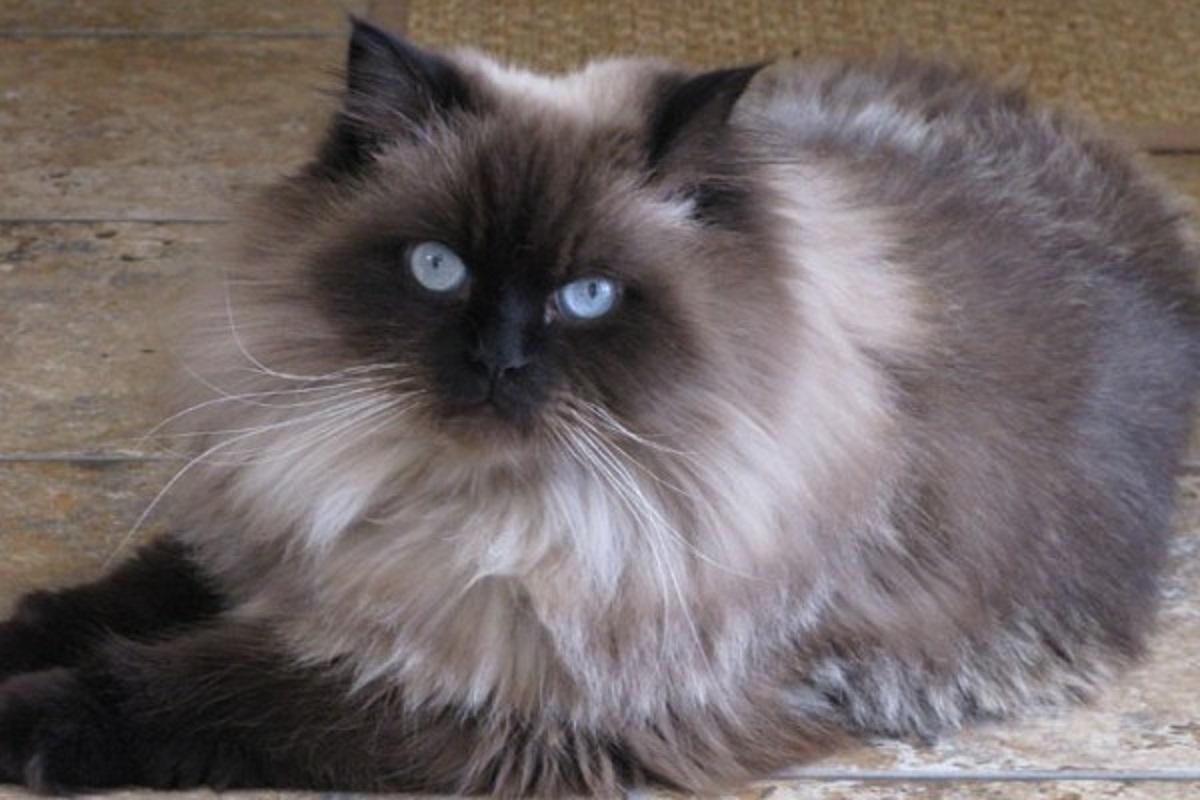 gatto himalayano per terra