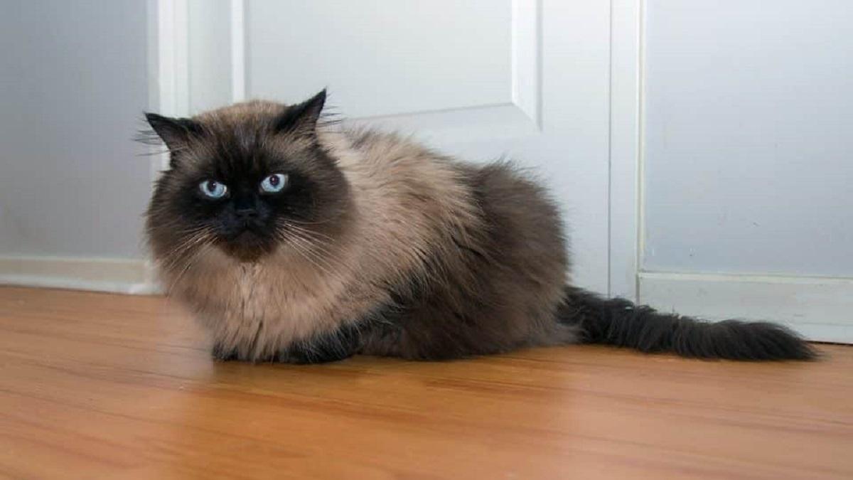 gatto himalayano davanti a porta