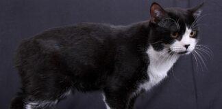 gatto manx sfondo scuro