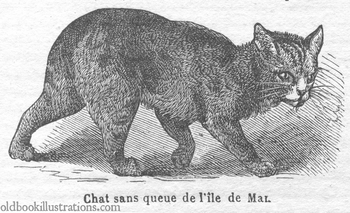 manx illustrazione antica